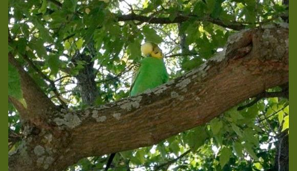 Parakeet Has Friends At Lake Bluff Train Station, …