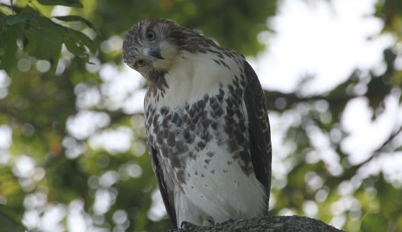 red_tail_hawk_home2