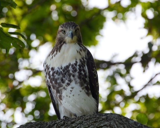Red Tail Hawk … with attitude. Photo by Dave Dezelen of Lake Bluff