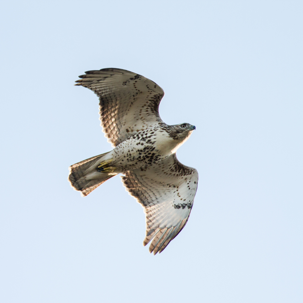 A juvenile Red Tailed Hawk flies over the Fort Sheridan Preserve; photo by Vic Berardi of the Fort Sheridan HawkWatch group.
