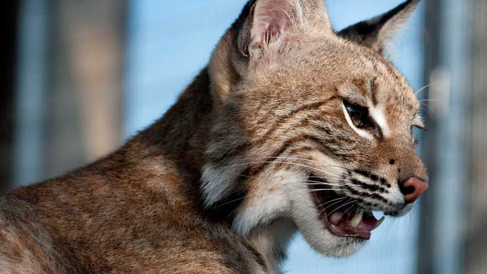 Bobcat Hunting In The News