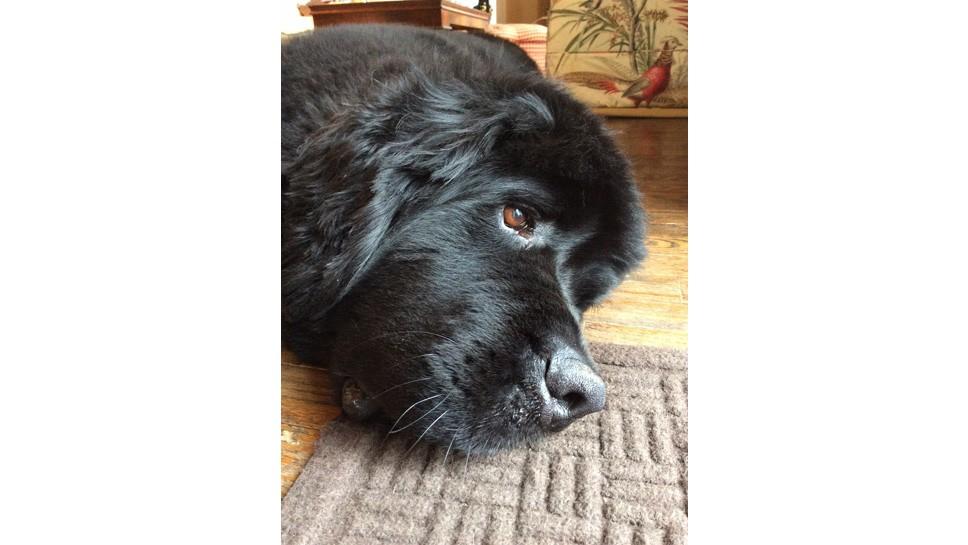 Dog Flu Puts Owners On Alert
