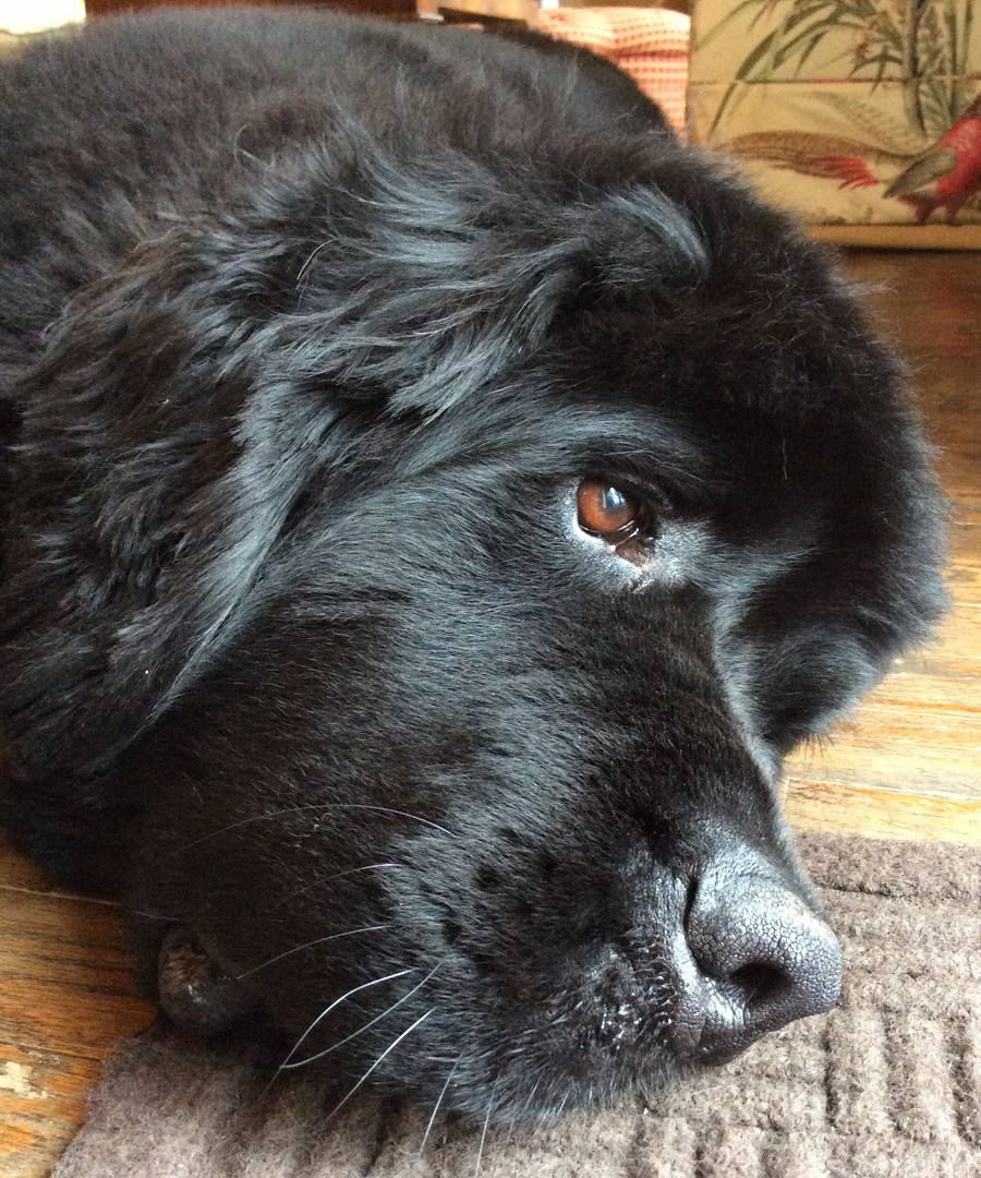 George, a Newfoundland who's not feeling well, recuperates in his Lake Forest home.