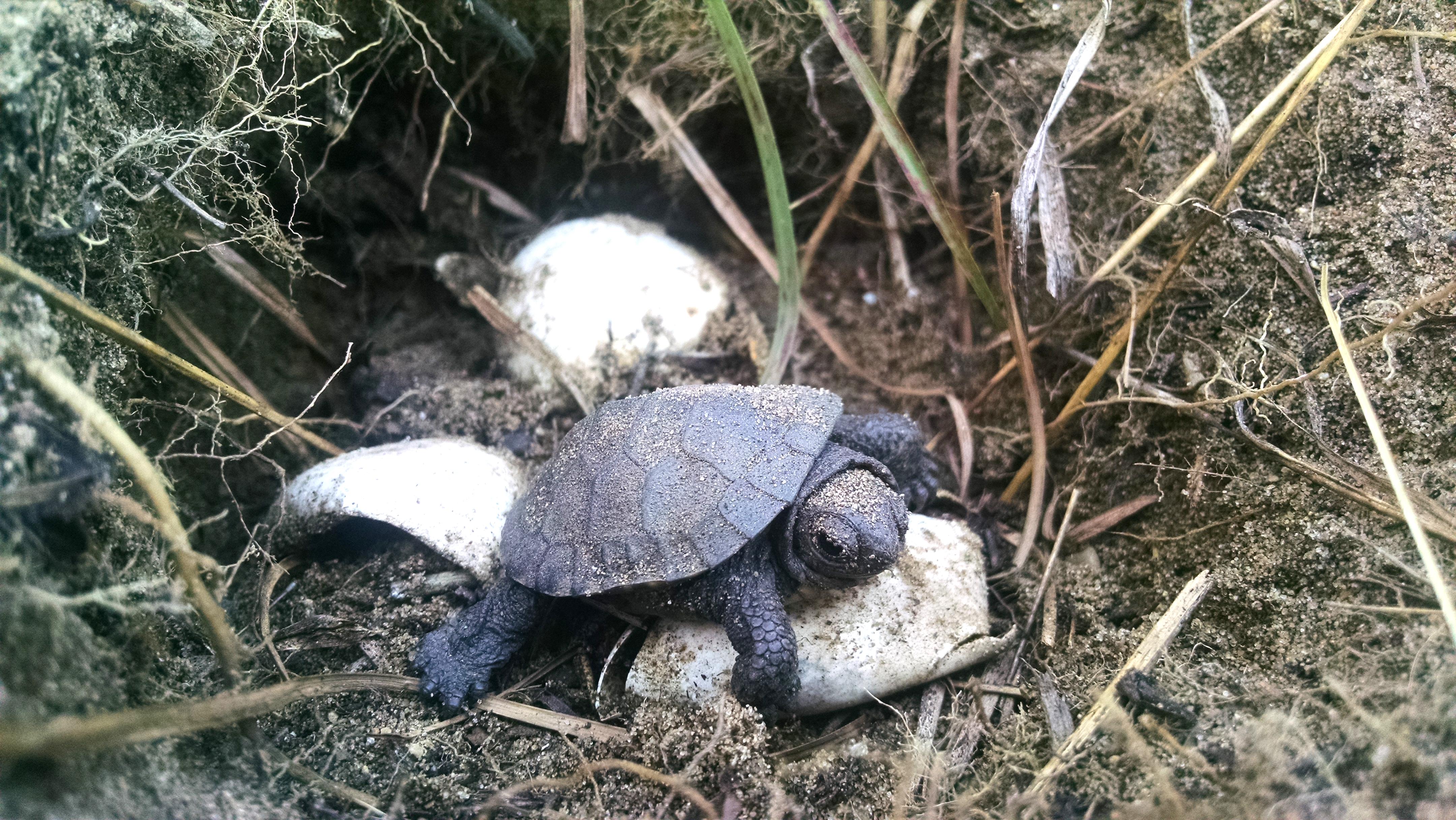 Картинка черепахи с яйцами