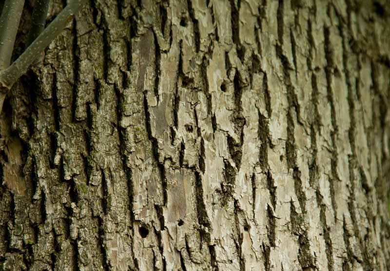 """The """"D"""" shaped exit holes of an Emerald Ash Borer on a Westleigh Road ash tree in Lake Forest. Photography by Joel Lerner/JWC Media"""