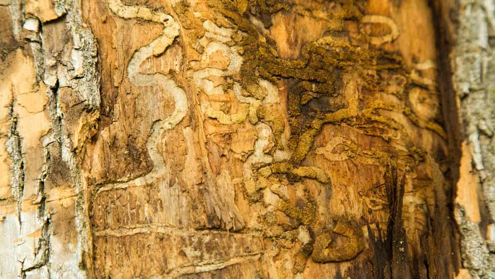"""Distinctive """"S"""" shaped curves are evidence of Emerald Ash Borer larva on a Westleigh Road ash tree in Lake Forest.. Photography by Joel Lerner/JWC Media"""