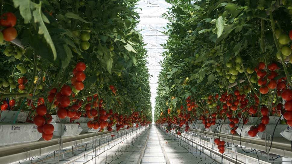 MightyVine has been making a better tomato -- inside and out. PHOTOGRAPHY BY ROBIN SUBAR/JWC MEDIA