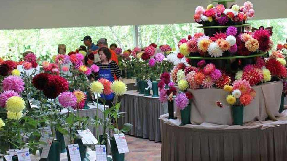 Dahlia Contest Expected to be Huge