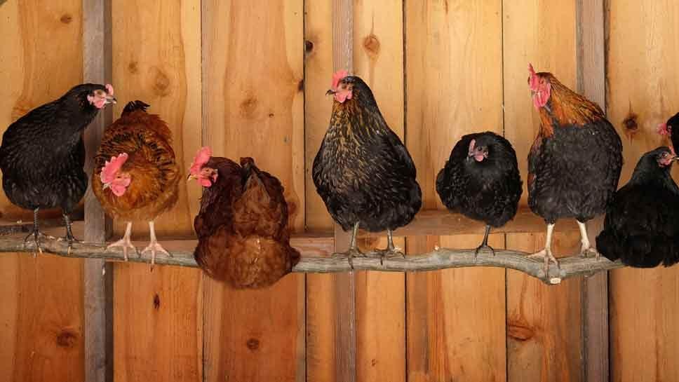 Having Chickens for Neighbors