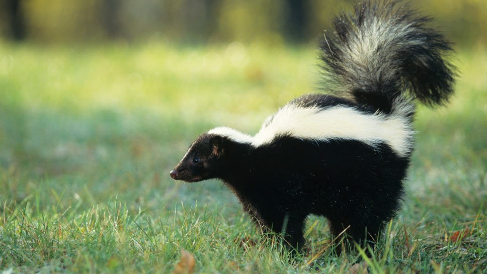 Glenview Goes On Skunk Patrol