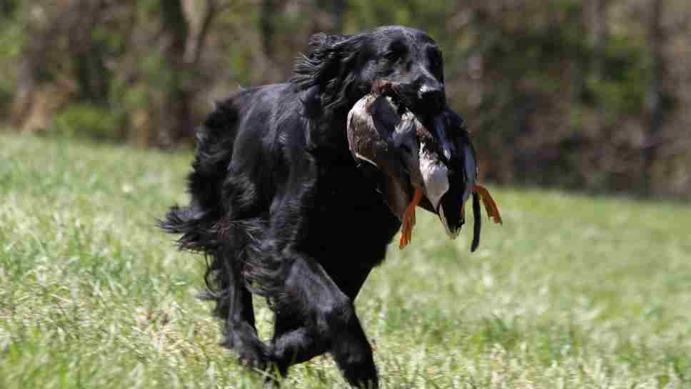 Lake Forest Dog Shown at Westminster