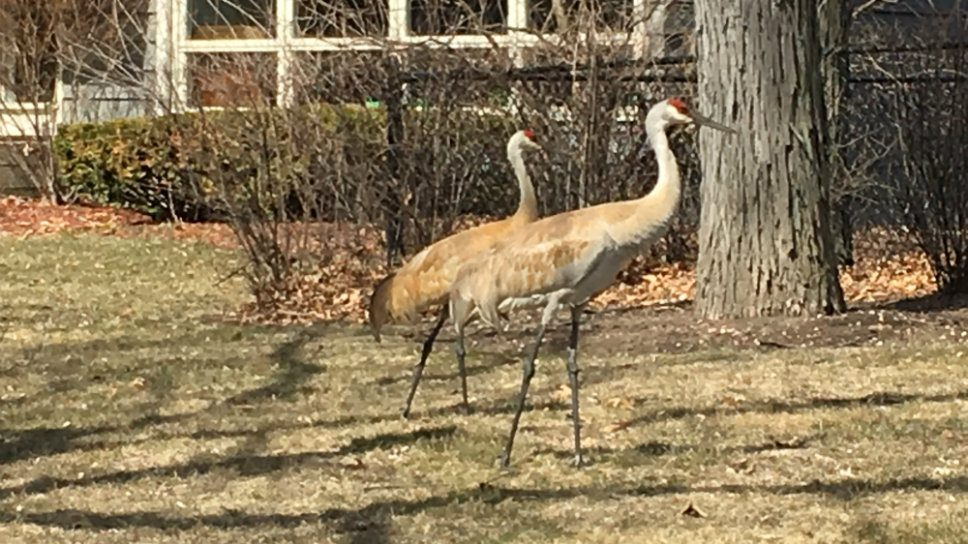 Sandhill Cranes: At Home in Highland Park