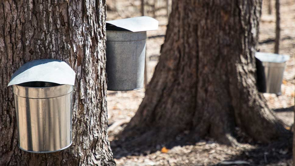 Sweet Sign Of Spring: Maple Sugar