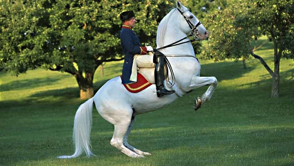 Tempel Lipizzans: White Stallions Turn 60